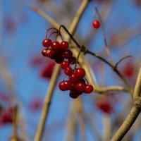 Поздняя ягода... :: Елена Черненко