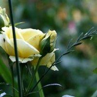 Роза :: Катерина Глухова