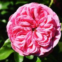 Роза. :: Katherine Filts