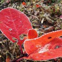 листья чёрной рябины :: svetlana