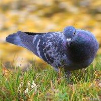 голубь :: Laryan1