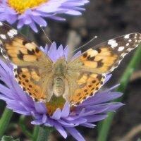 бабочка :: Валентина Широнина