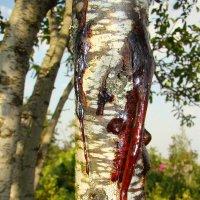 Деревья тоже плачут :: Константин Жирнов