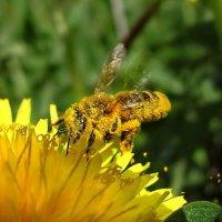С цветка на цветочек,как жёлтый комочек... :: Удивительное Рядом