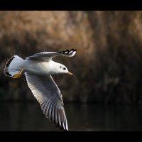Чайки жирные летают :: Владимир Манин