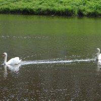 Лебеди в монастыре. :: Антонина Гугаева