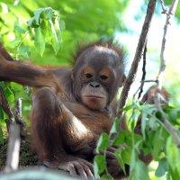 детёныш орангутанг :: Андрей Фиронов
