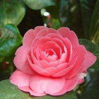 Chinesische Rose :: Валентин Илленсеер