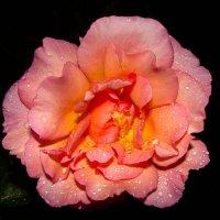 Rose :: Валентин Илленсеер
