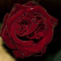 Роза странная моя :: Ярослав Харченко