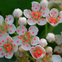 flowers :: lev