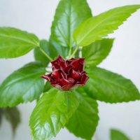 Китайская роза :: Николай Сухоруков