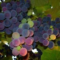 Созревающий виноград :: Михаил Ситчихин