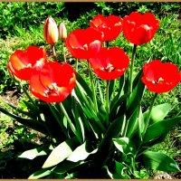 Тюльпаны в моём саду. :: Антонина Гугаева