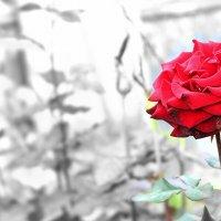 Роза :: Валерия Миронова