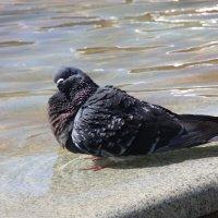 голубь :: Альфир Зиянгиров