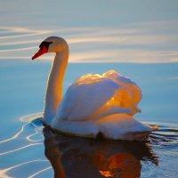 Рассветный лебедь. :: krealla 1
