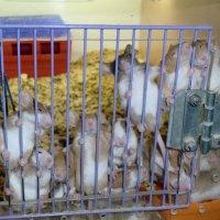 Домашние крысята :: Иван Перенец