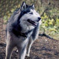 Голубой пёс :: Наташа С