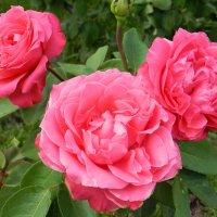 розовые розы. :: НАДЕЖДА КУЖЕЛЕВА