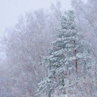 Зимний лес :: Вячеслав Печенин