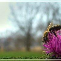 самая трудолюбивая пчела :: YakoV
