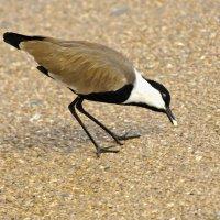 Шпорцевый чибис-грациозная птица! :: Shmual Hava Retro