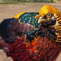 Золотой фазан :: Nn semonov_nn