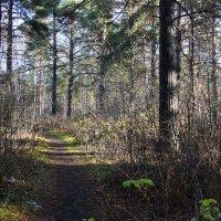 Лесные колонны :: Александр Садовский