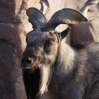 Винторогий горный козел :: G Nagaeva