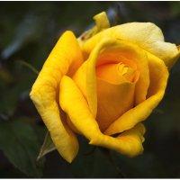 роза :: Виталий Бидюк