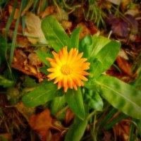 Последние цветы этой осени. :: Оксана Баллыева