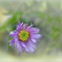 Цветок поздней осени... :: Olenka