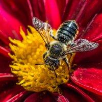 Пчела :: Nn semonov_nn