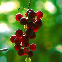 Виноград на Смоленщине :: Юрий