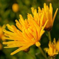 Желтая игольчатая хризантема :: Ирина Рассветная