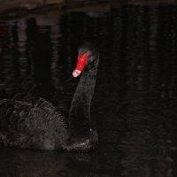 Черный лебедь... :: ЕЛЕНА W