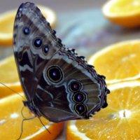Завтрак бабочки) :: Елена