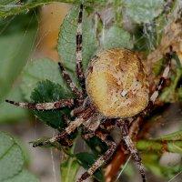 большой паук :: lev