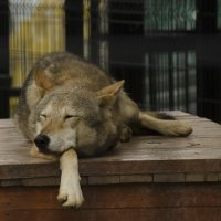 Волк :: Марк Э