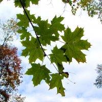 Последние зеленые листочки :: Валерий Струк