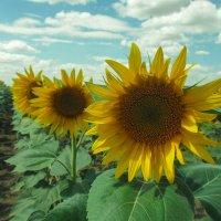 Цветок солнца :: Александр Никишков