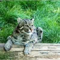 Камышовый кот. :: Антонина Гугаева