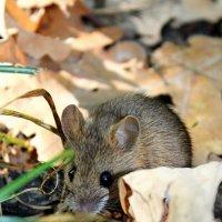Мышка :: Julia Martinkova