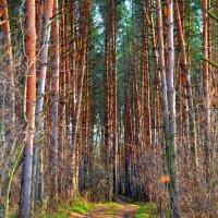 Дорога в сосновом лесу :: Владимир Васильев