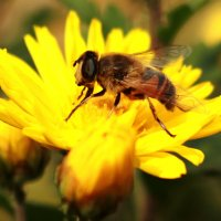 пчелка :: Елена Ткач
