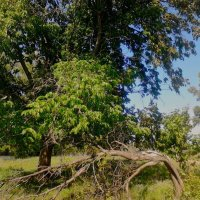 Дерево :: Оксана Баллыева