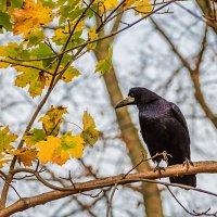 Черный ворон :: Владимир Самсонов