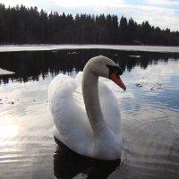 Лебединое озеро :: Татьяна Ш