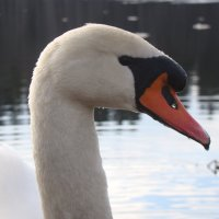 Лебедь :: Татьяна Ш